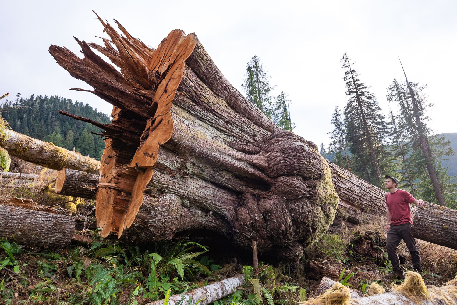 old growth forest logging 2