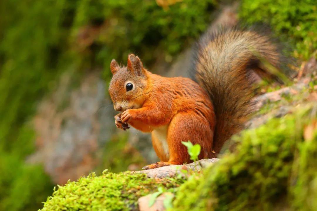 red squirrel uk